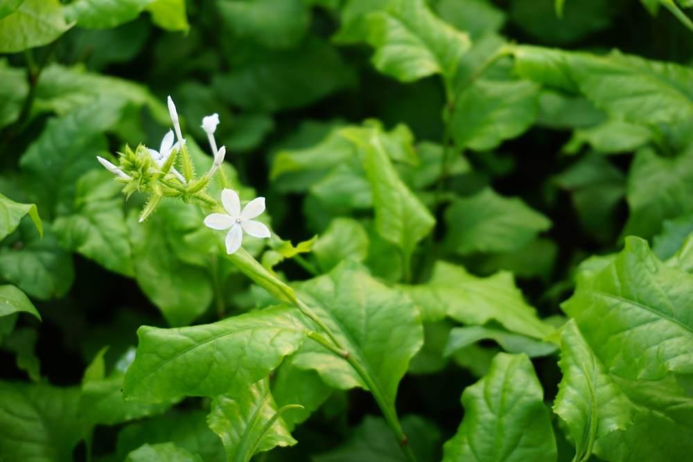 cây thuốc bạch hoa xà
